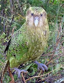 kakapi